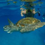 Swimming with sea turtle Barbados