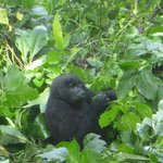 Baby gorila at Bwindi national park - Uganda