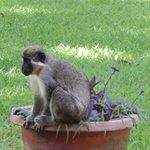 Elke ochtend werden we verwelkomt door de apen.