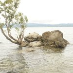 Pohon Batu