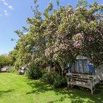 Pom Pom Tree in bloom