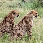 Cheetah's waiting patiently at Hluhluwe Imfolozi Game Reserve