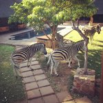 Zebras just feet away from our bathroom window!