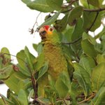 Red-lored Parrots came to the Cashew trees every morning