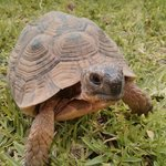 One of the resident tortoises