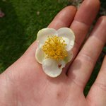 Flower from the tea shrubs