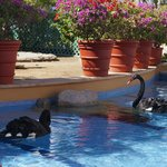 Black swans at the hotel