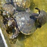 turtles in the carport pond