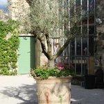 L'olivier dans la cours