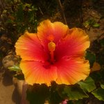 pink and yellow hibiscus flower