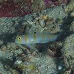 Randall's Goby