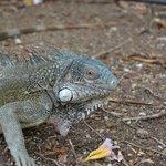 fauna locale-iguana