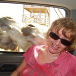 The donkeys gently knocked into me while putting their heads through the truck windows wanting f
