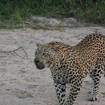 Leopard on our game drive