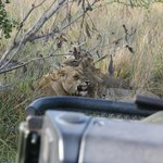 Lions on our game drive