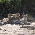 Amboseli Cheetahs
