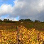 Les vignes à l'entrée du village