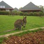 Les Lodges au fond, et un wallaby pas farouche!
