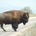 Bison crossing the road in front of us