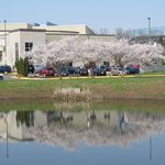 Cherry trees and pond