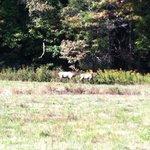 Male elk chasing female elk