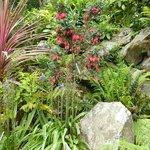 Crinodendron Hookeranium (Chinese lantern tree)