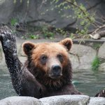 Grizzly Bear, Detroit Zoo
