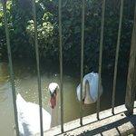 i cigni nel lago