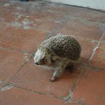 The Kitchen Hedgehog