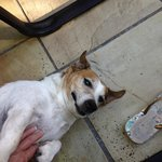 Simba the very friendly Jack Russel