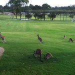 kangaroos playing at the Golf Driving Range