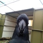 Red tailed black cockatoo Selfie.