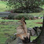 Red Squirrel using the Fox carving as a look out.