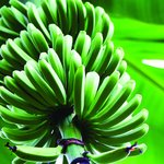 Bunches of Fun Banana Farm Tours