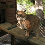 Just a beautiful day to visit with a bobcat. :)