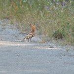 A hoopoe on roadside