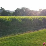View of the vineyard from our patio