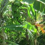 Banana Tree and Flower
