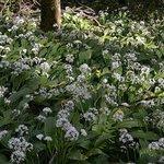 Wild garlic grows beside the pathway