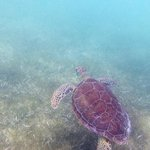 Sea turtle at Akumal