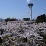 桜の海と五稜郭タワー