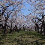 土塁の上の桜並木