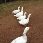 The Geese that greet you on arrival :-)