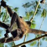 Einer von drei Affen-Brüdern
