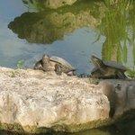 Turtles around resort in pond