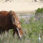 Wild horse and cattle egret