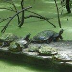 Turtles on a raft