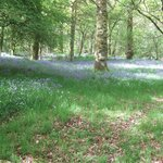 LOWESWATER BLUEBELL FIELD