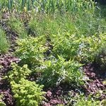 Herbs growing in the gardens