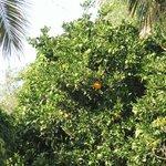 Apelsinträd just utanför våran balkong :)